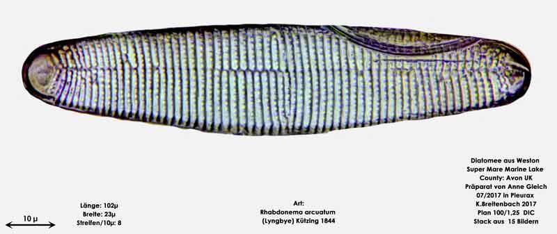 Bild 37 Diatomeen aus Weston Super Mare, UK; Art: Rhabdonema arcuatum (Lyngbye) Kützing 1844