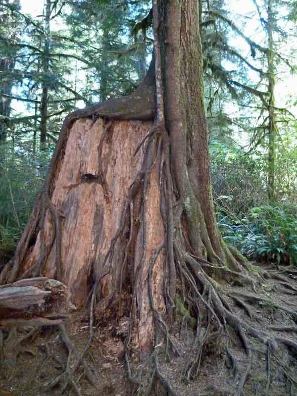Bild 8 Alles wird natürlich belassen im Regenwald im Quinolt National Forest