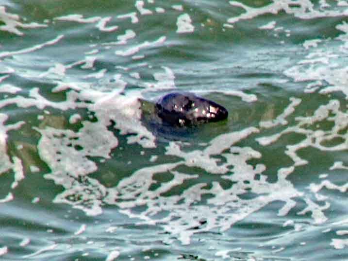 Bild 9 Robbe unter uns im Wasser bei Wanderung entlang der Klippen am Cap Gris Nez