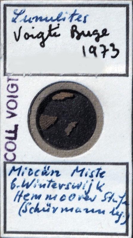 Bild 1: Bryozoa Lunulites sp, Sammlung Voigt, Senckenberg