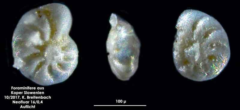 Bild 26 Foraminifere aus Koper/Slowenien Art: wurde von mir nicht bestimmt