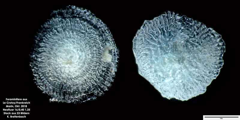 Bild 52 Foraminifere aus Le Crotoy Normandie/Frankreich. Gattung: konnte von mir nicht bestimmt werden