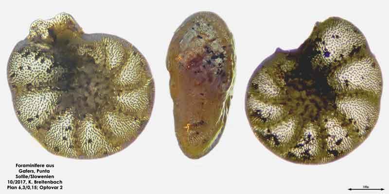 Bild 3 Foraminiferen aus Sand von Punta Sottile. Gattung: Elphidium sp.