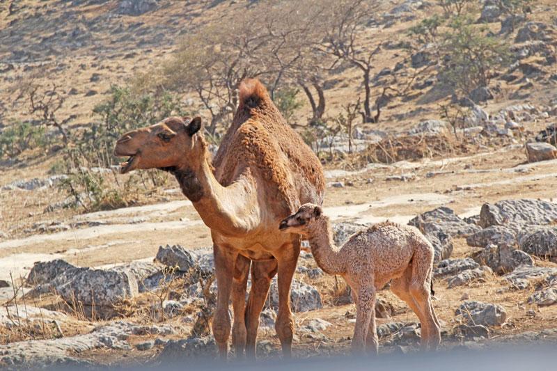 Bild 12 Kamele auf der Straße, auf dem Weg zu Hiobs Grab