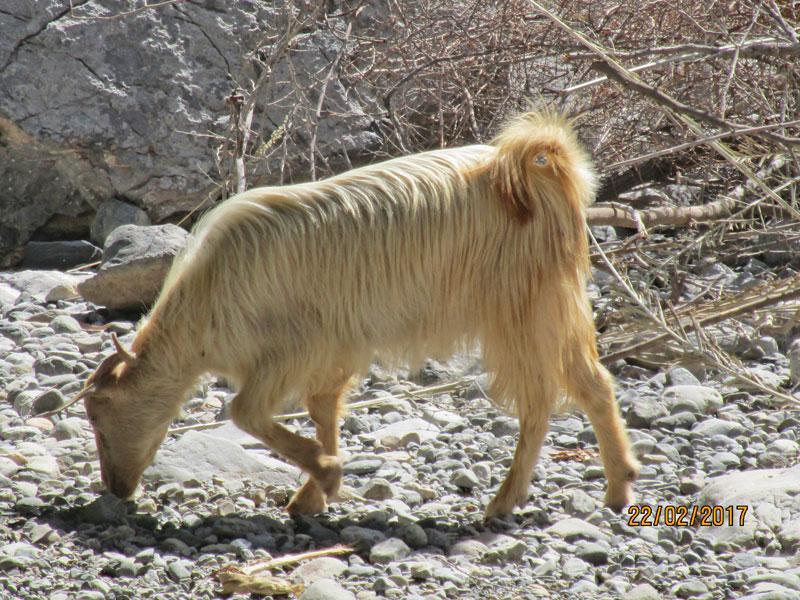 Bild 12 Ziegen im Wadi