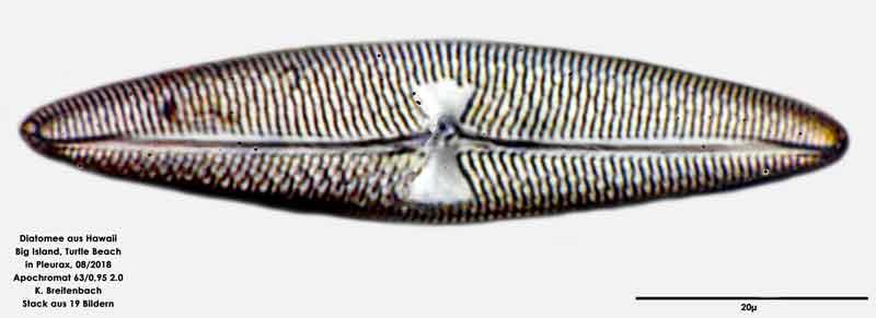 Bild 88 Diatomee aus Hawaii, Big Island, Turtle Beach. Art: Trachyneis aspera (Ehrenberg) Cleve 1894