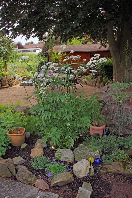 Bild 2 Baldrianpflanze aus unserem Garten ca. 1,5m hoch