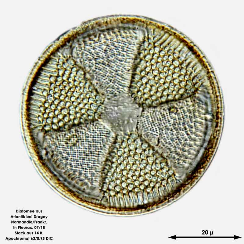 Bild 9 Diatomee aus dem Atlantik bei Draghey de Monton (Normandie). Art: Actinoptychus senarius (Ehrenberg) Ehrenberg 1843