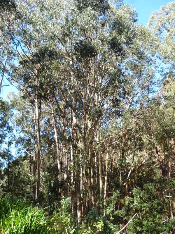Bild 10 Viele Eukalyptusbäume säumen den Weg