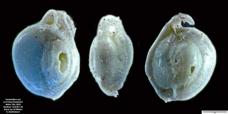 Bild 38 Foraminifere aus Le Crotoy Normandie/Frankreich. Triloculina sp.