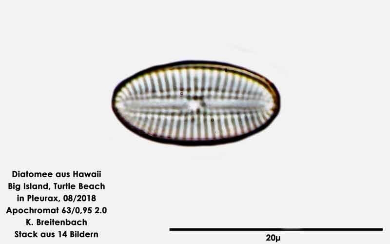 Bild 109 Diatomee aus Hawaii, Big Island, Turtle Beach. Gattung: konnte von mir nicht bestimmt werden