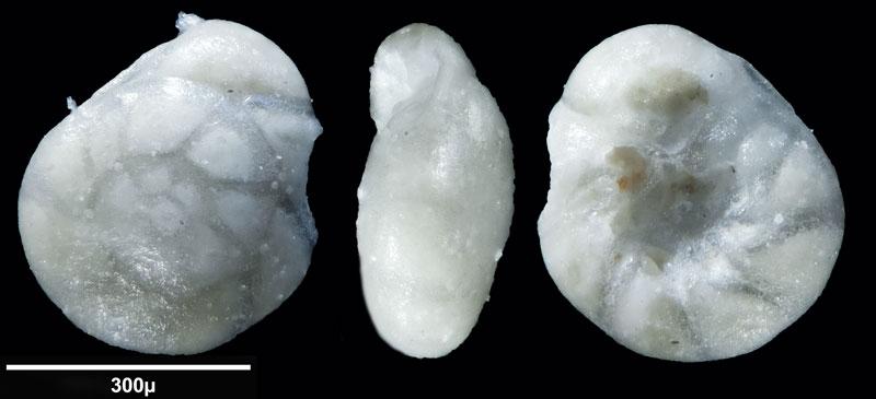 """Bild 14 Foraminifere aus Sand vom Lido in Venedig. Gattung: Ammonia sp, Koordinaten: 45°24'49.1""""N 12°22'42.0""""E"""