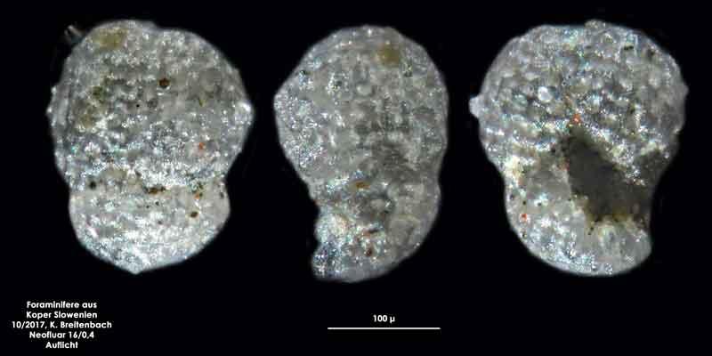 Bild 9 Foraminifere aus Koper/Slowenien Art: spec Globoturborotalita