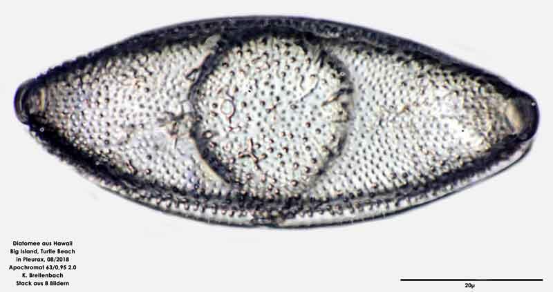 Bild 53 Diatomee aus Hawaii, Big Island, Turtle Beach. Art: Odontella aurita (Lyngbye) C.Agardh 1832 Draufsicht