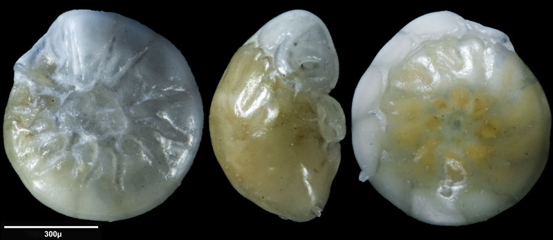 """Bild 16 Foraminifere aus Sand vom Lido in Venedig. Gattung: Ammonia sp, Koordinaten: 45°24'49.1""""N 12°22'42.0""""E"""