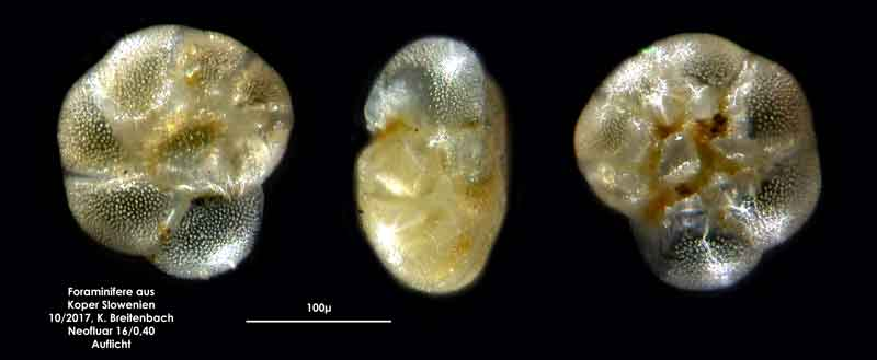 Bild 16 Foraminifere aus Koper/Slowenien Art: spec Haynesina depressula (Walker & Jacob, 1798)