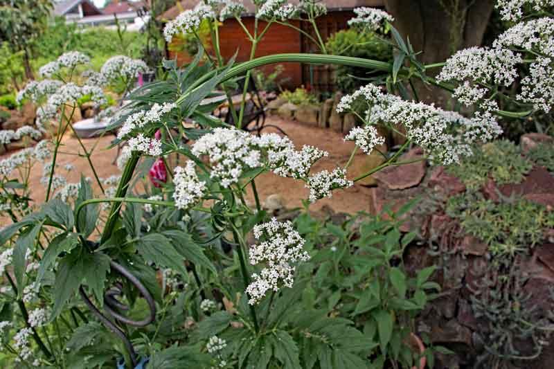 Bild 3 Baldrianpflanze aus unserem Garten ca. 1,5m hoch