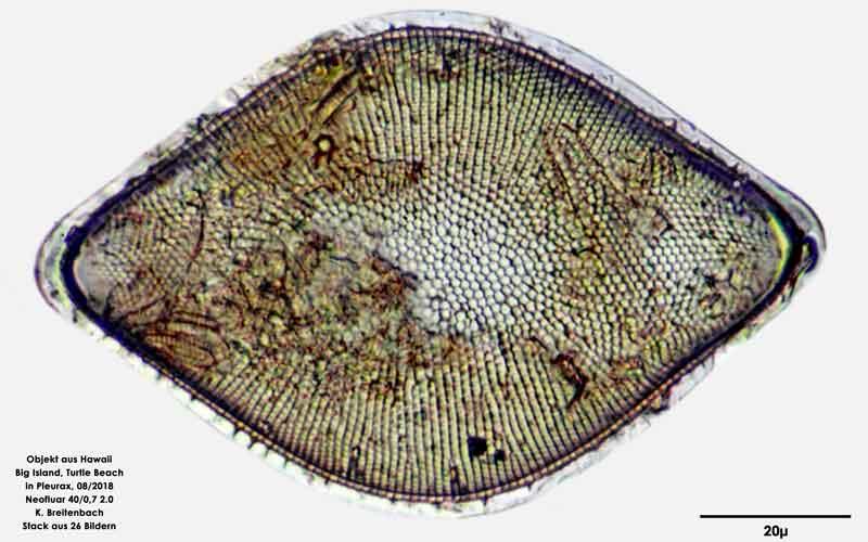 Bild 59 Diatomee aus Hawaii, Big Island, Turtle Beach. Art: Odontella rhombus (Ehrenberg) Kützing 1849