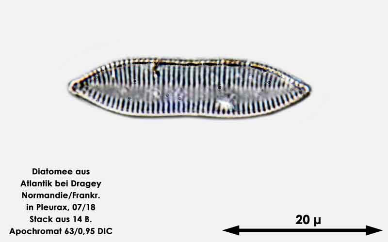 Bild 50 Diatomee aus dem Atlantik bei Draghey de Monton (Normandie). Gattung: Nitzschia sp.