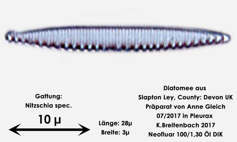 Bild 35 Diatomeen aus Slapton Ley, Devon UK; Gattung: Nitzschia spec.