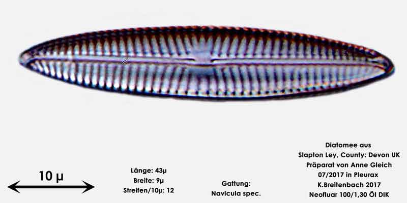Bild 33 Diatomeen aus Slapton Ley, Devon UK; Gattung: Navicula spec.