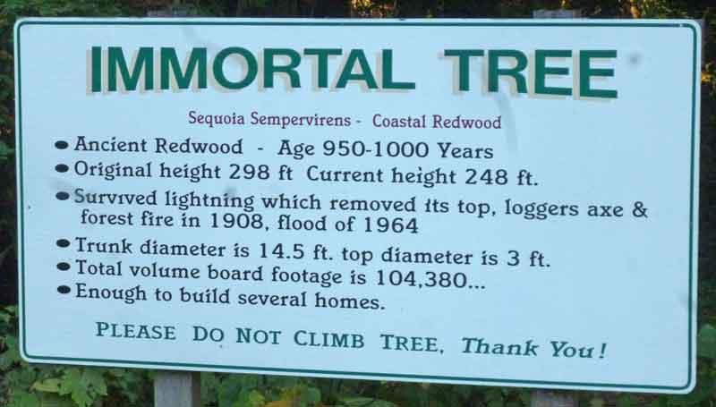 Bild 4 Der Baum ist 1000 Jahre alt, hoffentlich übersteht er noch lange Zeit