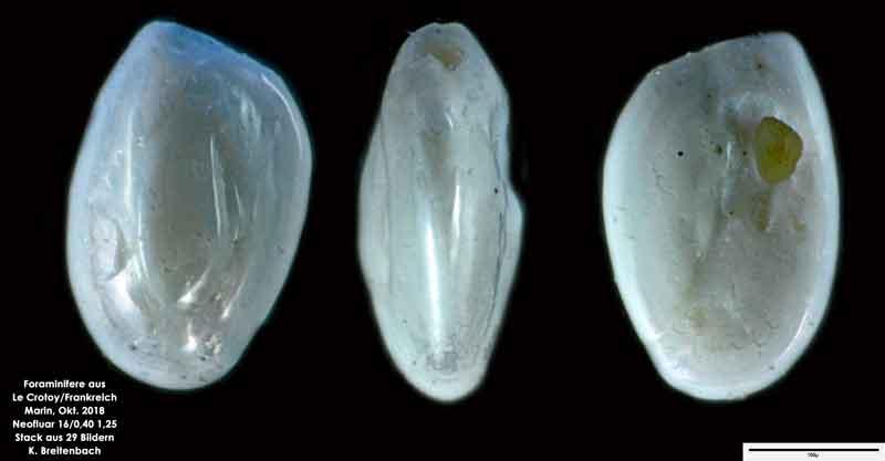 Bild 40 Foraminifere aus Le Crotoy Normandie/Frankreich. Triloculina sp.