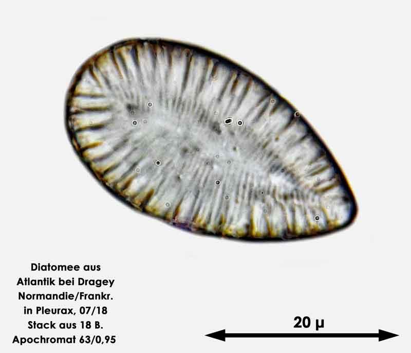 Bild 64 Diatomee aus dem Atlantik bei Draghey de Monton (Normandie). Gattung: Surirella sp.