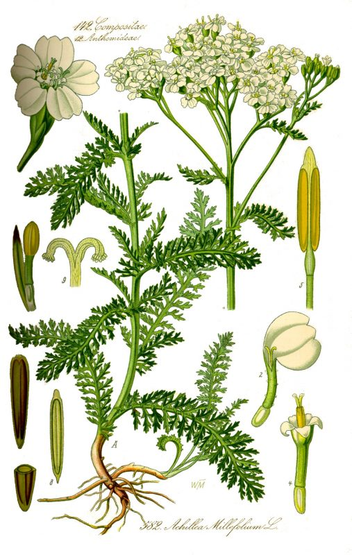Bild 1 Quelle: http://www.kostbarenatur.net/wp-content/uploads/2015/11/Illustration_Achillea_millefolium0_clean-507x800.jpg