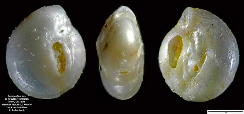 Bild 45 Foraminifere aus Le Crotoy Normandie/Frankreich. Gattung: konnte von mir nicht bestimmt werden