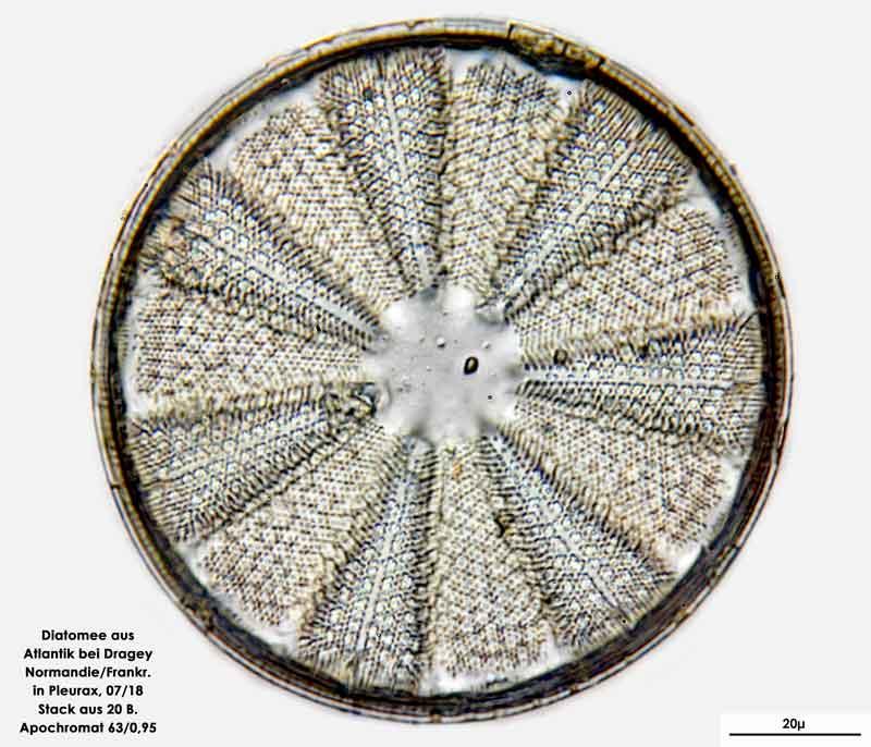 Bild 12 Diatomee aus dem Atlantik bei Draghey de Monton (Normandie). Art: Actinoptychus splendens (Shadbolt) Ralfs 1861