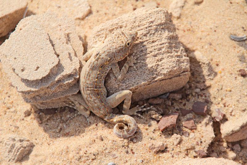 Bild 17 Geckos im Sand