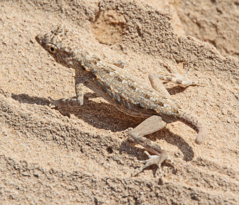 Bild 16 Geckos im Sand