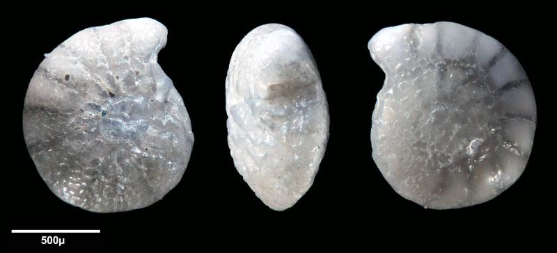 """Bild 6 Foraminifere aus Sand vom Lido in Venedig. Gattung: Ammonia sp, Koordinaten: 45°24'49.1""""N 12°22'42.0""""E"""