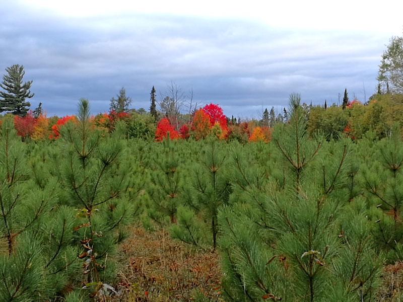 Bild 8 Herbstwald in Ontario