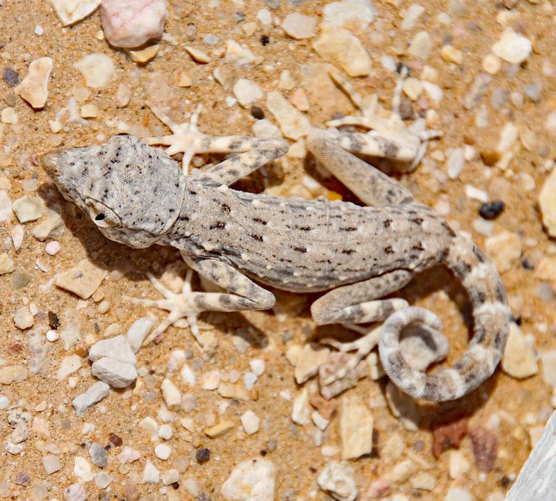 Bild 14 Geckos im Sand