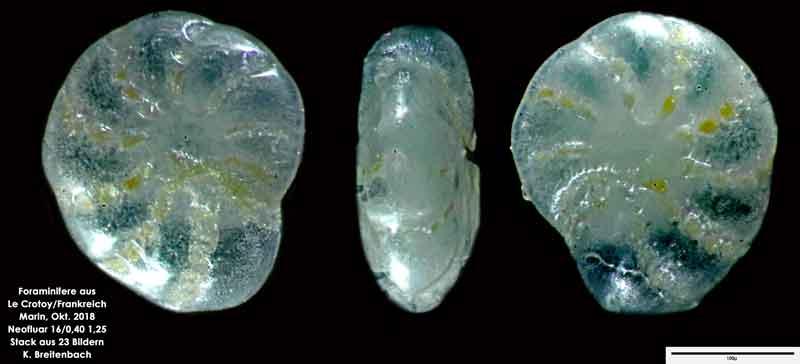 Bild 11 Foraminifere aus Le Crotoy Frankreich. Gattung: Elphidium sp
