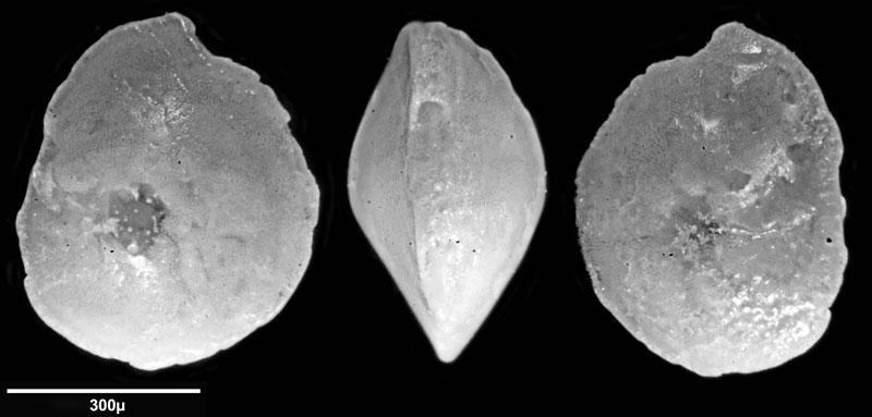 Bild 6 Foraminifere aus Saudi Arabien, Ras as Zawr, Gattung: Amphistegina sp