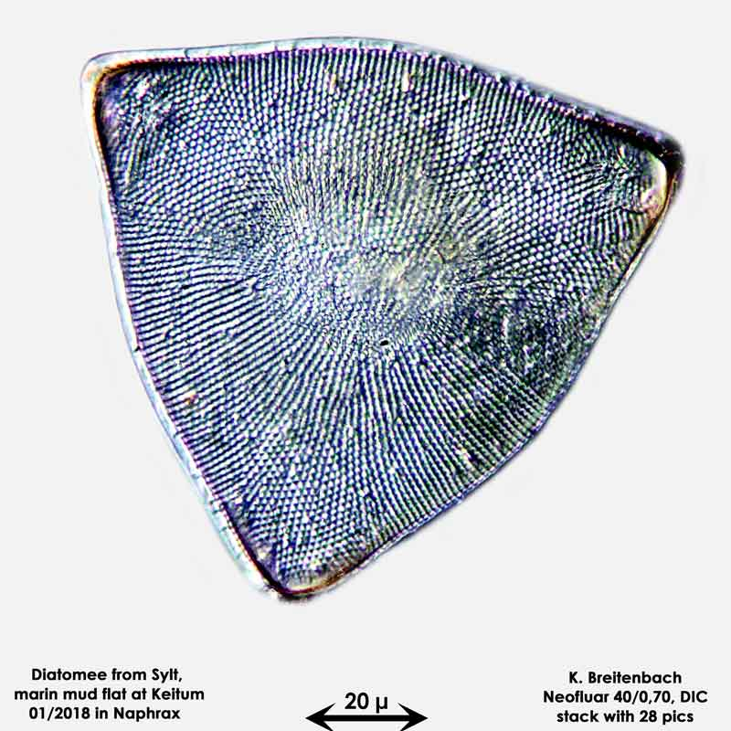 Bild 19 Diatomee aus Sylt/Keitum Watt, Art: Biddulphia rhombus var. trigona Cleve ex Van Heurck 1882