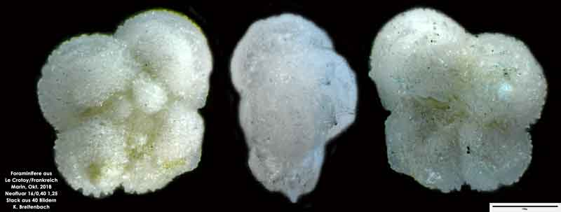 Bild 17 Foraminifere aus Le Crotoy Frankreich. Gattung: Globorotalia sp
