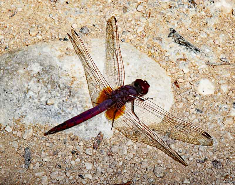Bild 16 Libelle im Wadi Bani Khalid