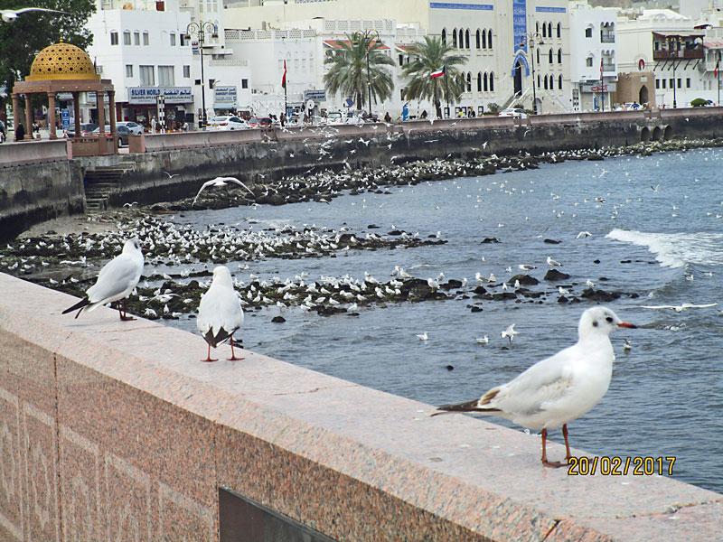 Möwen an der Corniche von Muthrah, Oman 2017