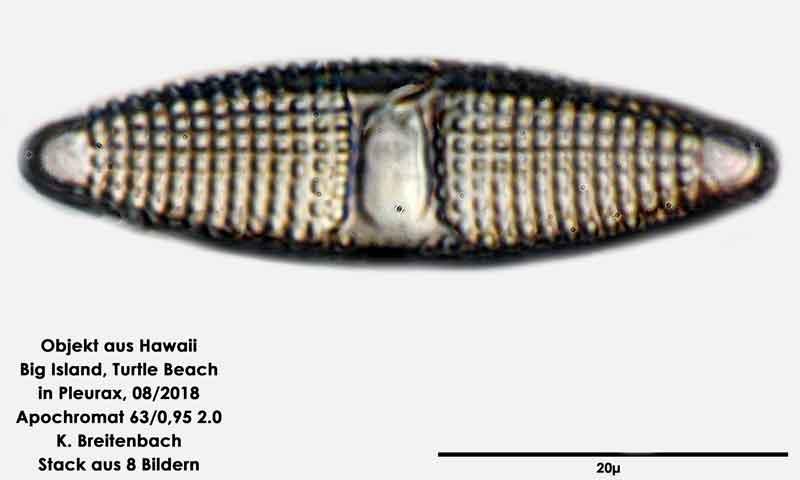 Bild 116 Diatomee aus Hawaii, Big Island, Turtle Beach. Gattung: konnte von mir nicht bestimmt werden