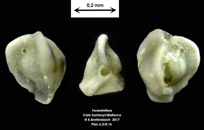 Bild 23 Foraminifere aus Mallorca Cala Santanyi, Art: Triloculina trigonula (Lamarck, 1804)