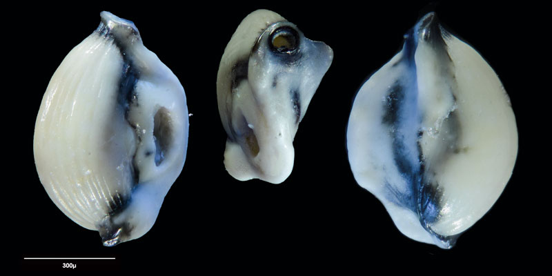 """Bild 24 Foraminifere aus Sand vom Lido in Venedig. Art: Quinqueloculina seminulum (Linnaeus, 1758), Koordinaten: 45°24'49.1""""N 12°22'42.0""""E"""