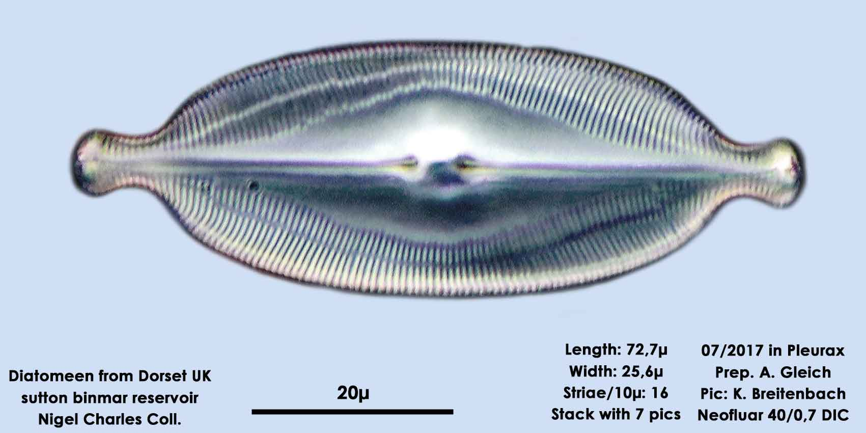 Bild 2 Diatomeen aus Dorset UK, Süßwasser. Art: Caloneis amphisbaena (Bory) Cleve 1894