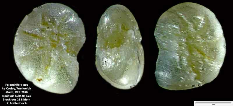 Bild 25 Foraminifere aus Le Crotoy Frankreich. Gattung: Haynesina sp