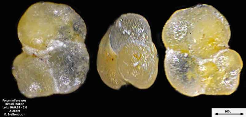 Bild 20 Foraminifere aus Strandsand aus Rimini; Gattung: Globorotalia sp.
