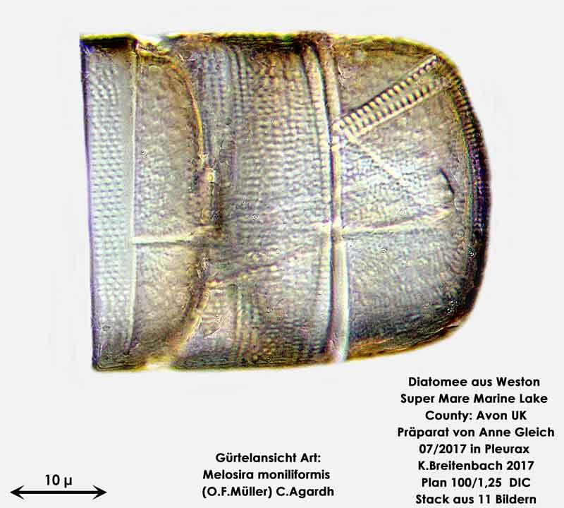 Bild 10 Diatomeen aus Weston Super Mare, UK Art: Melosira moniliformis Gürtelansicht (O.F.Müller) C.Agardh