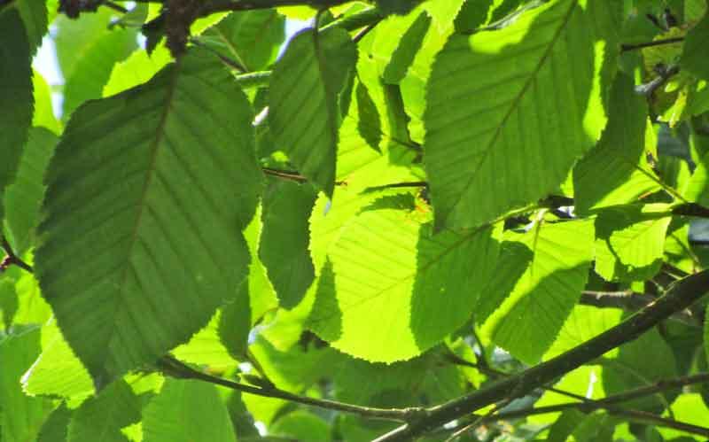 Bild 2 Gelb-Birke (Betula alleghaniensis) Blätter